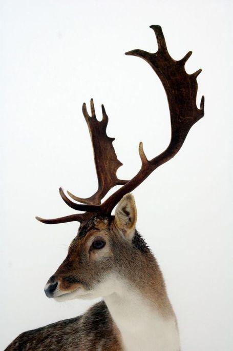 cervo.jpg